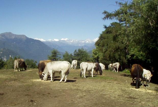 agriturismo monterosso mucche al pascolo