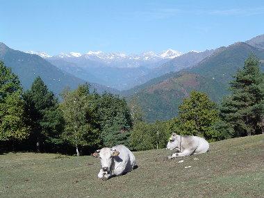 mucche monterosso