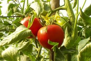 argriturismo tomatoes